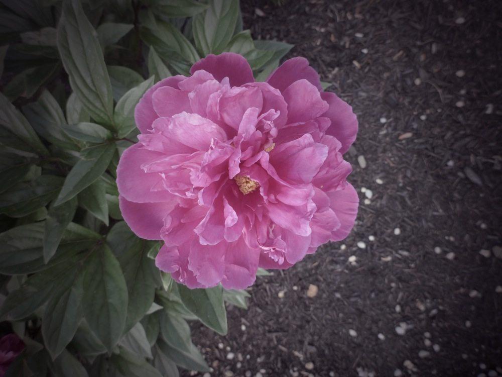pink-peony-large