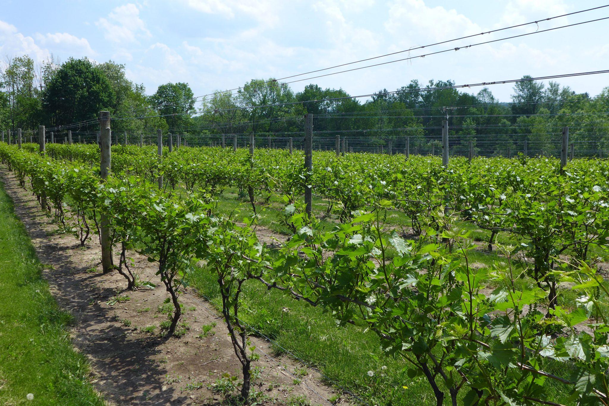 Owera Vineyards grapes on the vine