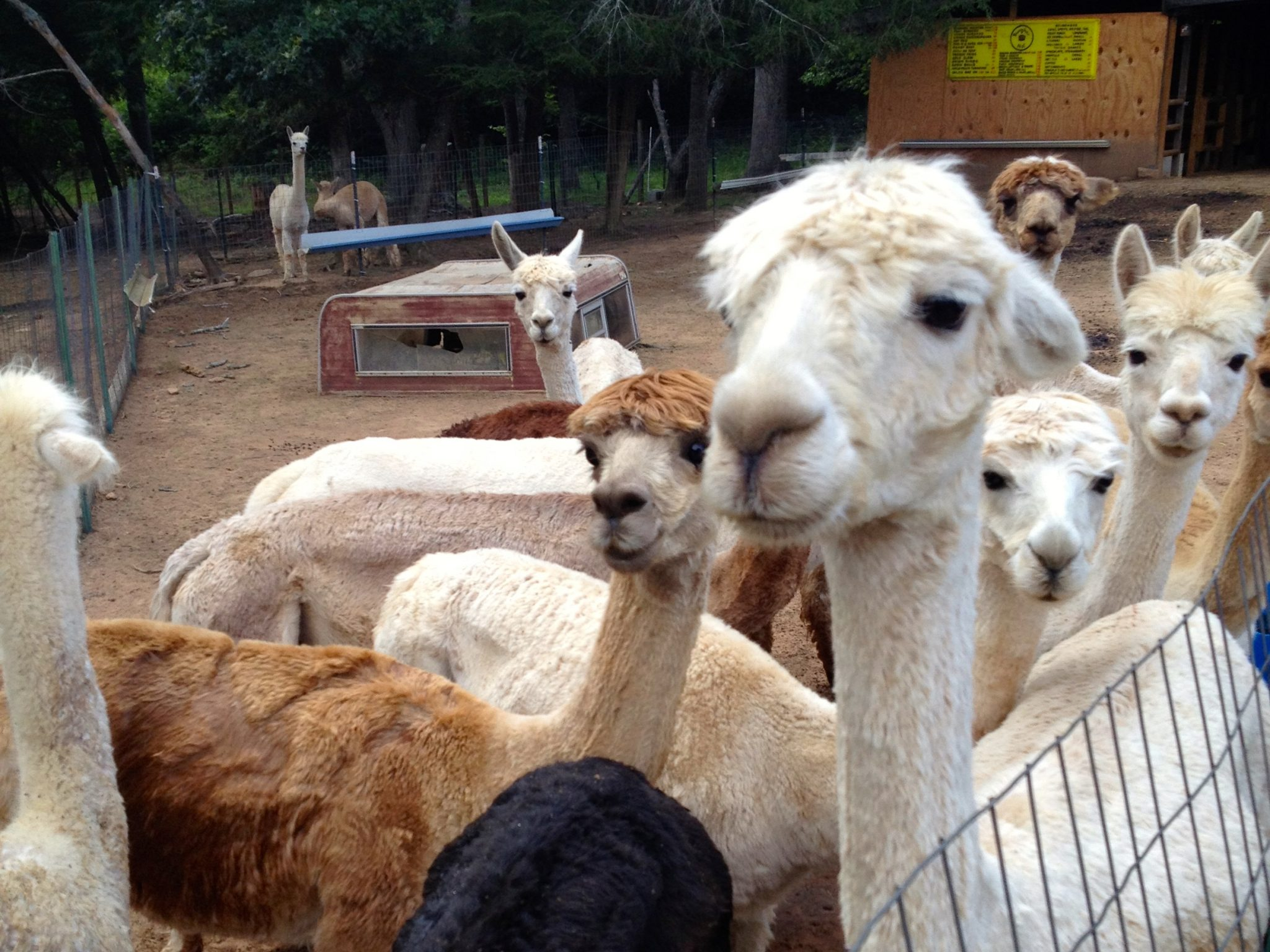 Alpacas at home in McCaysville, Georgia
