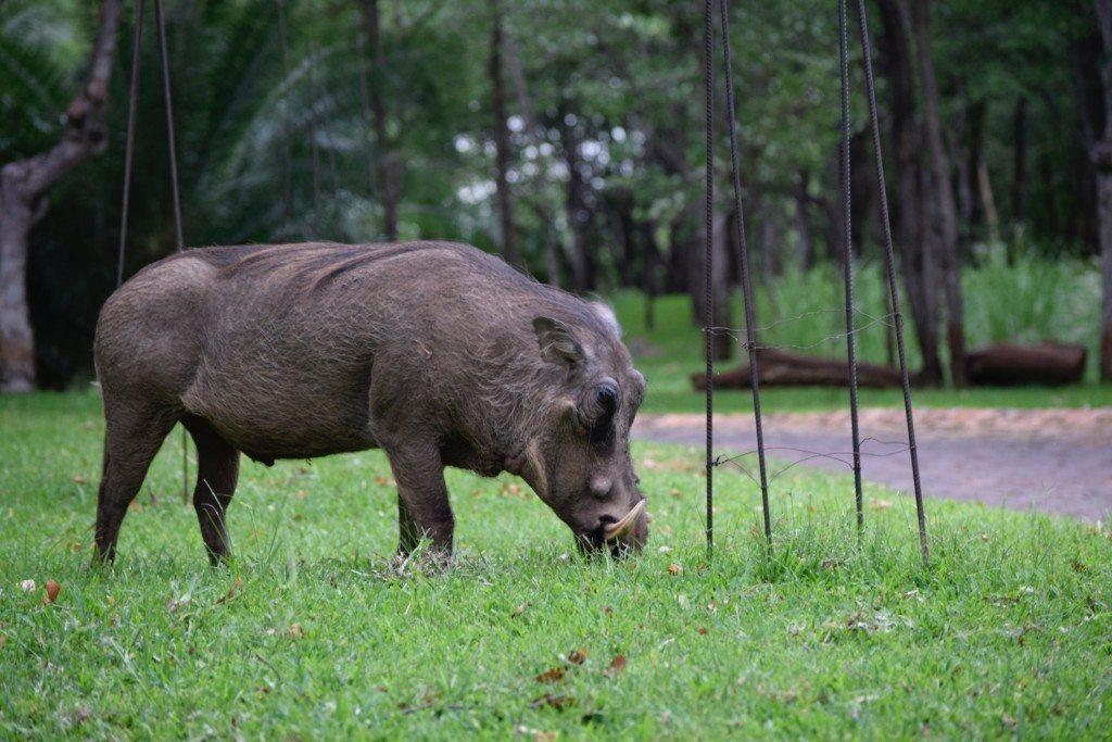victoria-falls-resort-warthog