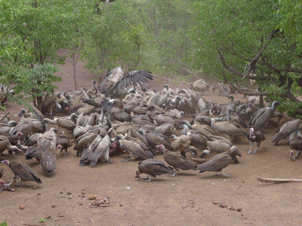 victoria-falls-vulture-feeding